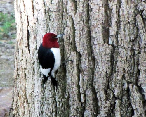 Red headed woodpecker large pic mary todd